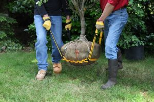 Lifting a root ball with a Prolifter